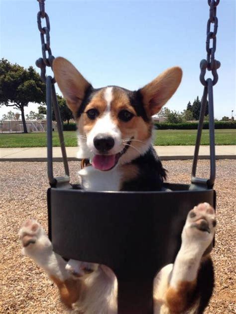 corgi in a swing happy dog on a swing d happy animals pinterest