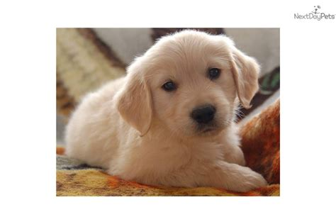 golden retriever puppies nevada golden retriever puppy last of the litter for sale breeds picture