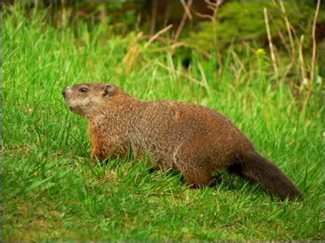 Common Backyard Rodents by Rodentia Part 2 At Virginia Polytechnic Institute And