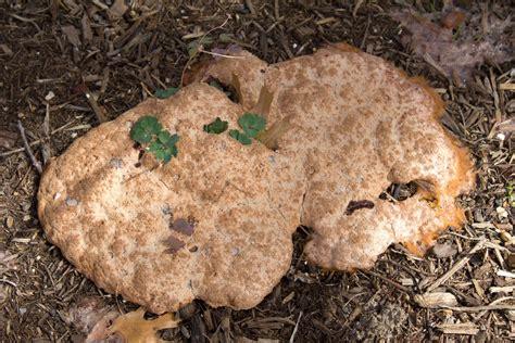 vomit slime mold vomit slime mold smallrooms 174