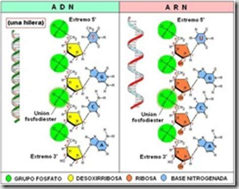 numero de cadenas en el adn y arn biolog 237 apuntocom adn y arn