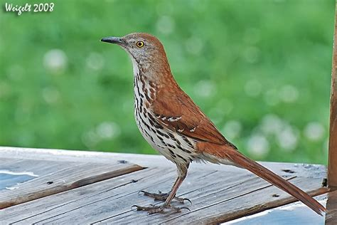 thrasher bird images google search birds pinterest