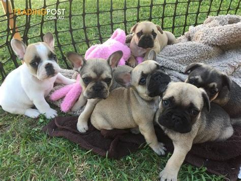 black pug puppies for sale brisbane view all dogs for sale in australia