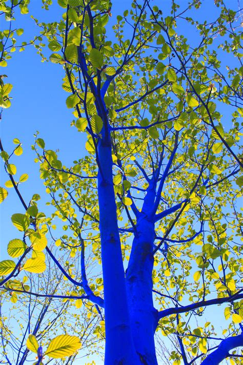 Trijee Blue the blue trees