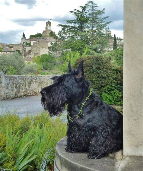 how to give a scottish terrier a hair cut 1000 images about scotties and foxies on pinterest