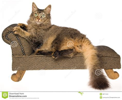 couch cat la perm cat on mini couch on white background stock images