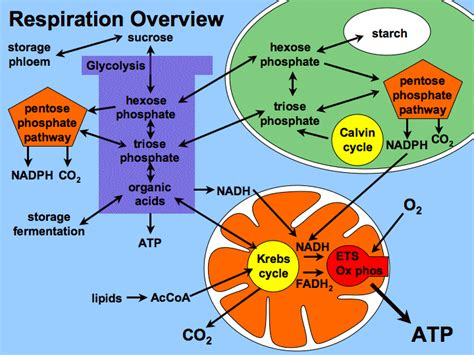 3 ways carbohydrates are used by cells pentose phosphate pathway and lipid metabolism