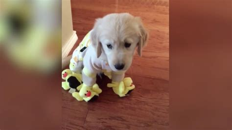 golden retriever pajamas this adorable golden retriever in duck pajamas and slippers will your