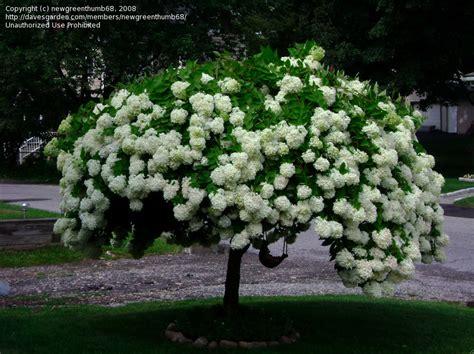 Hydrangea Paniculata Phantom 5200 by Photo Of Panicle Hydrangea Tree Hydrangea Phantom
