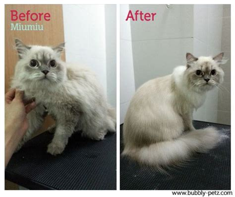 shipoo must be shaved for mats will her beautiful fur grow back com 7 best cat grooming works images on pinterest cat