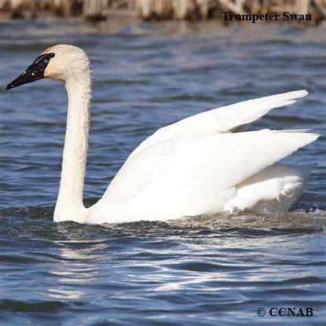 swans north american birds birds of north america