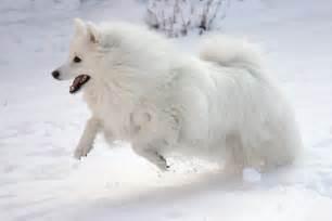 American Eskimo Dog | HD Wallpapers (High Definition ...