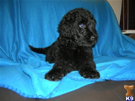 black russian terrier puppies for sale black russian terrier puppies for sale 34099