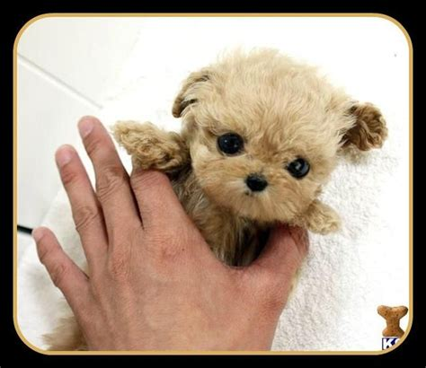 lifespan of teacup poodle introducing the micro tea cup poodle a s