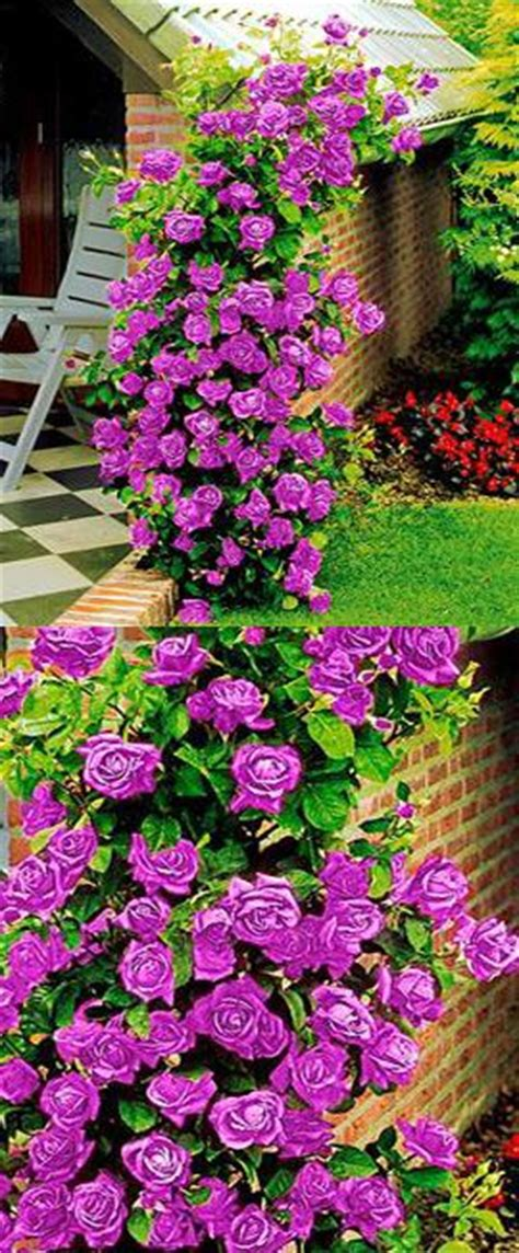 beautiful climbing plants 25 best ideas about climbing flowers on