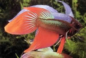 fish freshwater aquarium fish sweet lips fish siamese fighting fish