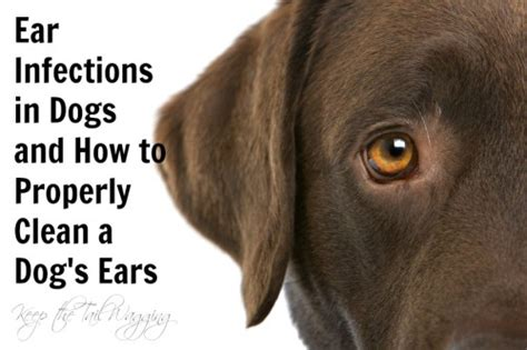 ear infections in dogs ear infections in dogs and how to clean a s ears keep the wagging