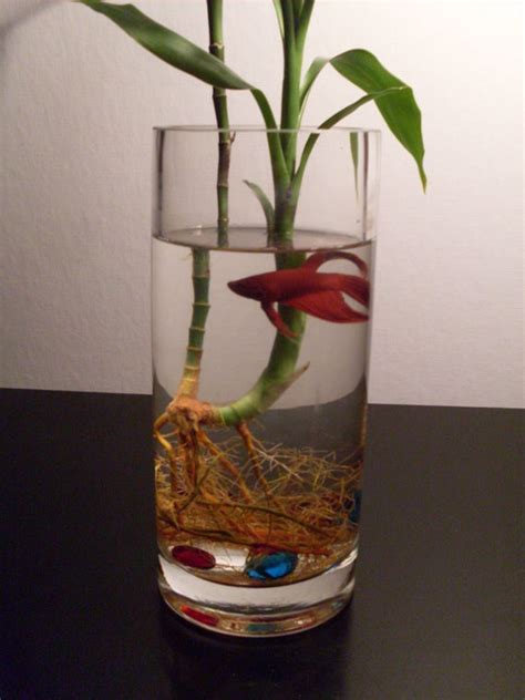 Betta Fish In Vase With Bamboo by Bamboo Betta Bowl Aquaria Happy I Am And Fish