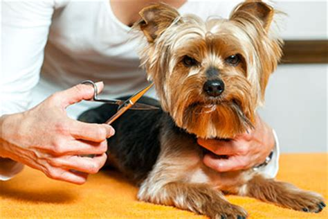 how do yorkies grow 35 breeds that don t shed small medium large breeds