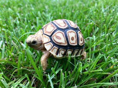 sulcata tortoise house tips interesting sulcata tortoise habitat for outdoor pet house ideas