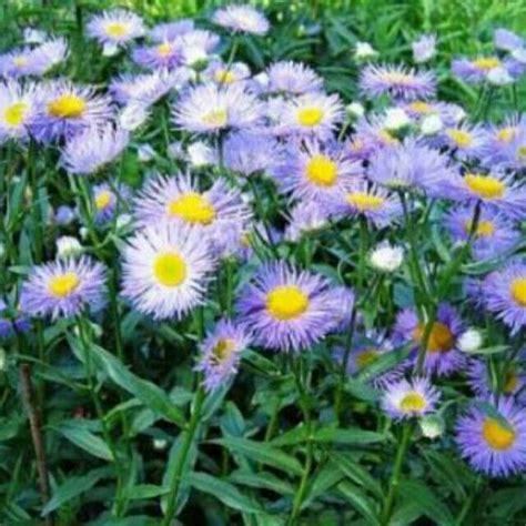 temukan dan dapatkan bibit benih seeds bunga fleabane bunga biru cantik hanya rp 10 000