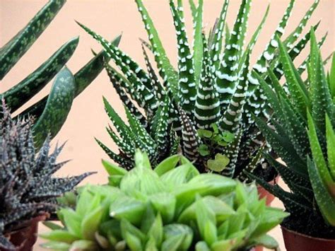 hardest plant to grow haworthia collection 5 plants easy to grow hard to kill