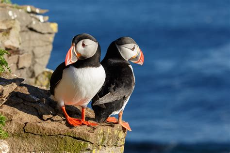 puffins who have to migrate farther often struggle with