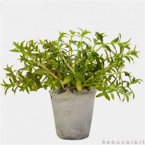 Harga Pupuk Dasar Untuk Aquascape jual tanaman stem plant background aquascape murah april