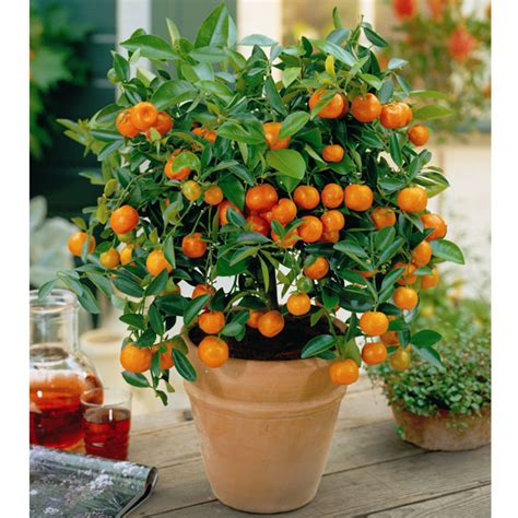 patio orange tree garden paradise how to grow oranges indoors with a
