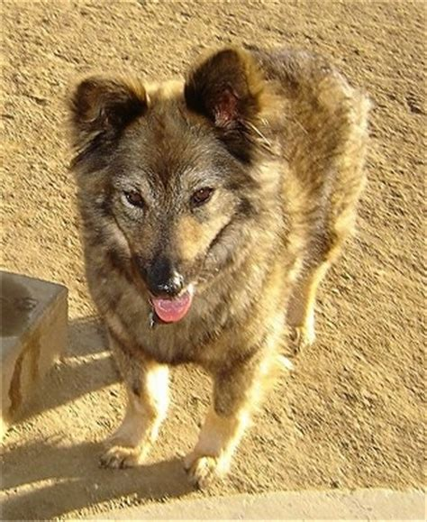 coyote mix coydog information and pictures