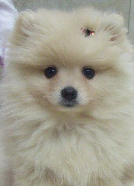 pomeranian pregnancy week by week 102 best images about pomchi s on chihuahuas pom and pomeranian dogs