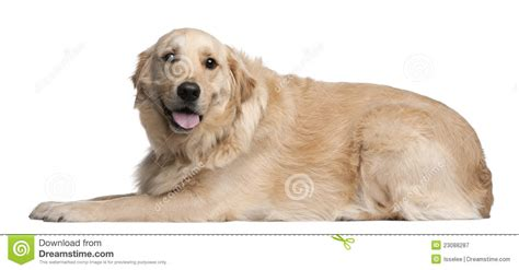 golden retriever 3 years golden retriever 3 years lying royalty free stock photography image 23088287