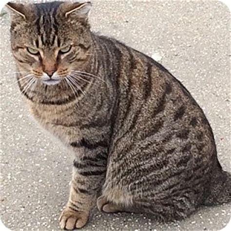 adopt a pet bobcat needs a home insidehalton com bobcat adopted cat long beach ny domestic shorthair