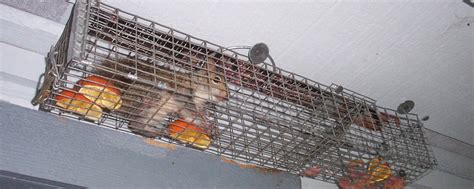 Squirrel In Ceiling by Squirrel Removal Brton Mississauga Termax