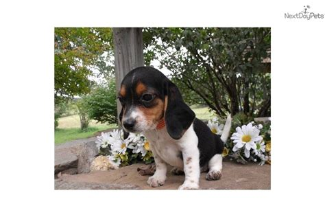 miniature beagle puppies for sale beagle puppies on miniature beagle puppies pet world breeds picture