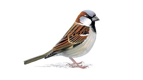 house sparrow document moved