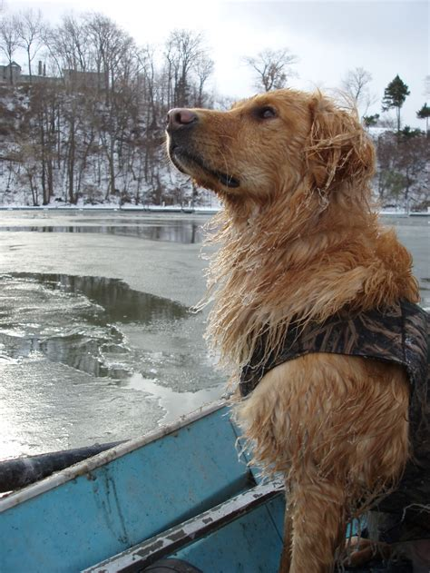 golden retrievers to hunt duso golden retrievers breeder of and companion puppies