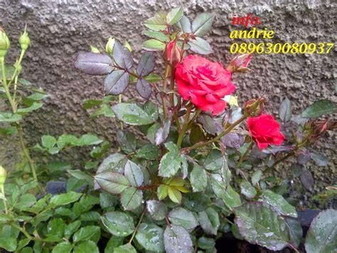 contoh gambar bunga mawar merah lkit
