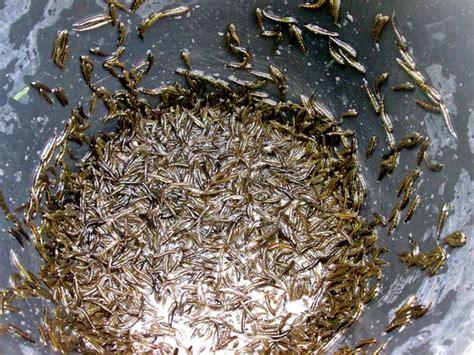 Batu Akik Gambar Berbentuk Ikan menangkap ipun ikan simbol kiriman berkat sang pencipta