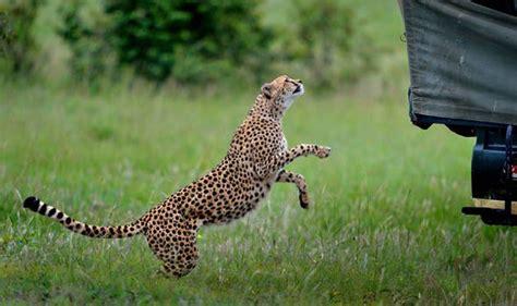 cheeky cheetah   close  personal   tourist  kenya travel news travel