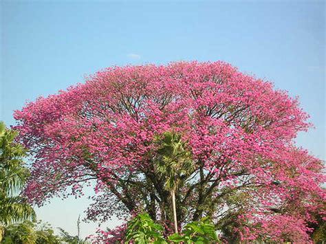 purple trumpet tree ip 202 roxo flickr photo sharing