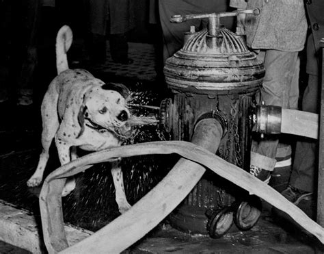 fire house dog fdny turns 150 daily news captures firehouse dogs through the years