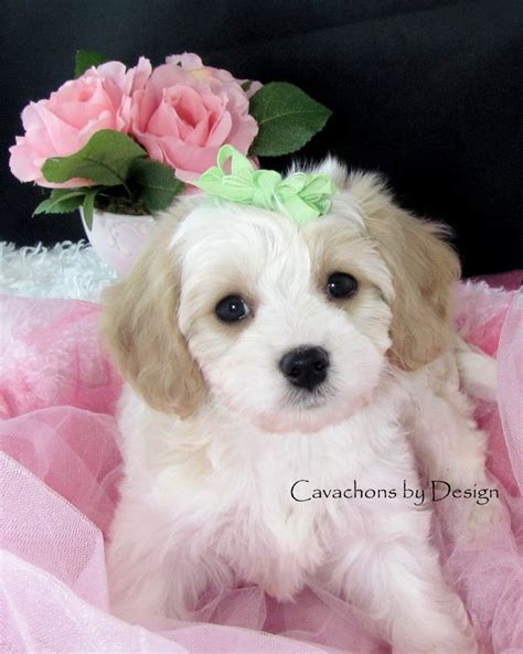 puppies for sale www cavachonsbydesign cavachon puppies for sale