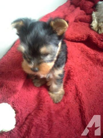 yorkie puppies for sale rochester ny terrier puppy 8 weeks for sale in rochester new york classified