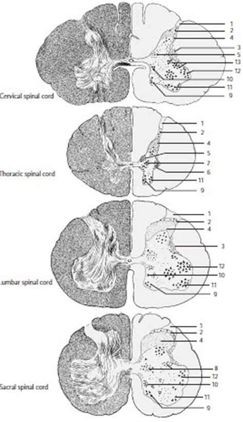 section of the spine cross sections of the spinal cord