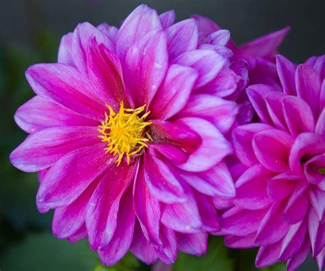 flower bloom pin bloom flower branch leaves buds cherries fresh