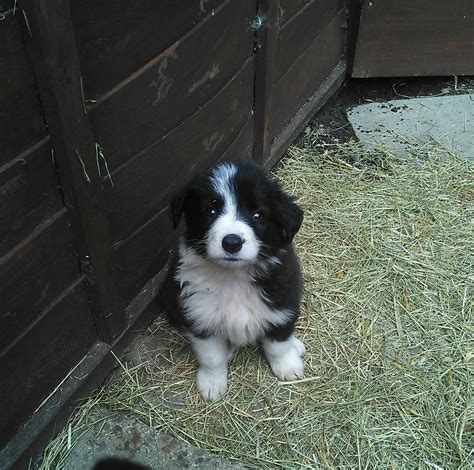 collie puppies for sale border collie puppies for sale belper derbyshire pets4homes
