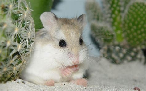 imagenes de hamsters kawaii hamster wallpapers wallpaper cave