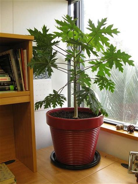 fruit trees that grow indoors indoor fruit trees papaya tree for our place