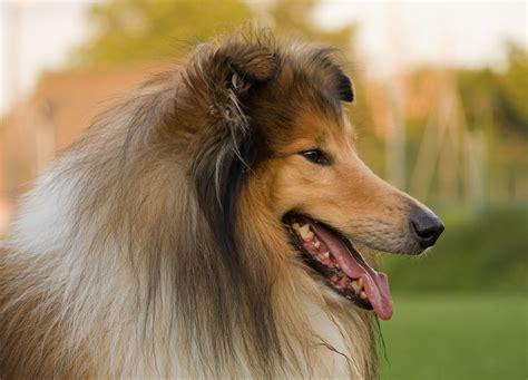 lassie puppies free photo collie collie lassie free image on pixabay 220444